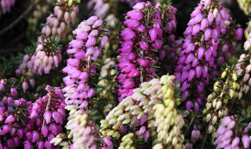 Heathers for autumn and winter colour senior times previous next mightylinksfo